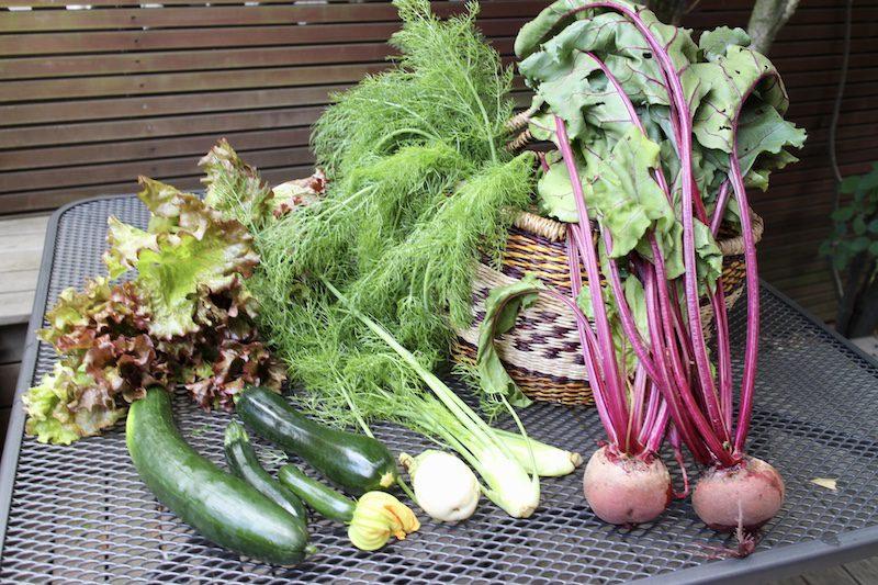 収穫した野菜 おすそわけ ズッキーニ、きゅうり、赤カブ、フェンネル、レタス
