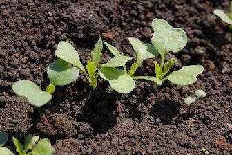 体験農園で育てている水菜の新芽